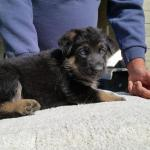 Green Girl at 5 weeks old. She is as big as the boys, very attentive.  She is such a smart girl.